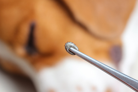 Closeup of human hands use silver pliers to remove dog adult tick from the fur