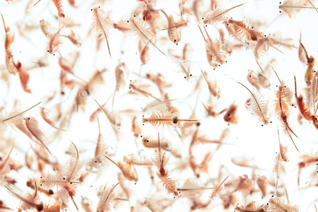 plankton: artemia plankton isolated on white background Stock Photo