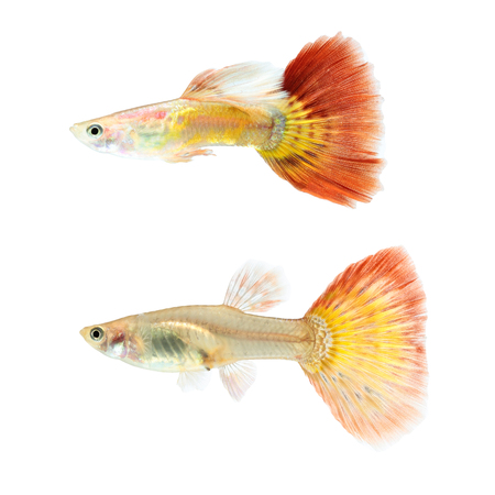poecilia: Guppy fish isolated on white background (Poecilia reticulata)