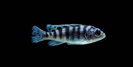 Malawi Aquarium Fish