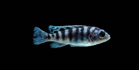 cichlids: Malawi Aquarium Fish