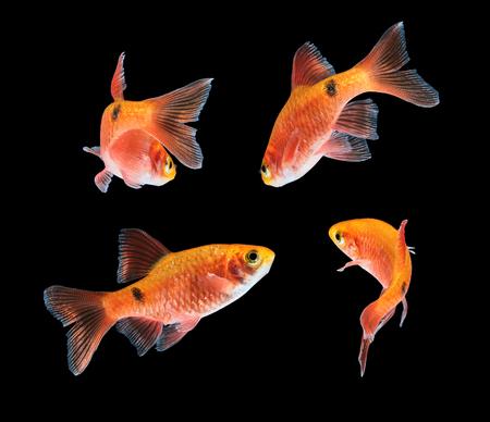 barbus: Aquarium fish, Rosy Barb (Puntius conchonius)