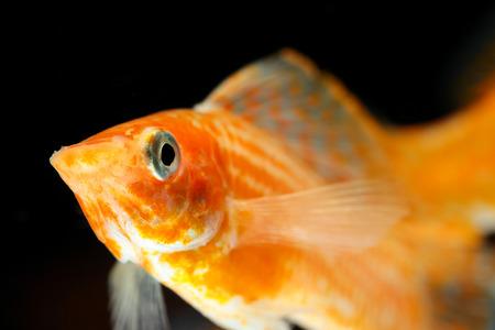 molly: Molly fish isolated on black