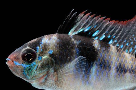 ramirezi: Mikrogeophagus ramirezi aquarium fish