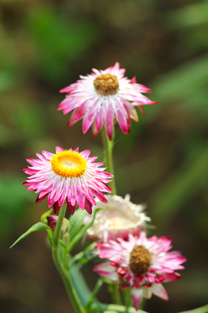 everlasting: Everlasting or straw flowers