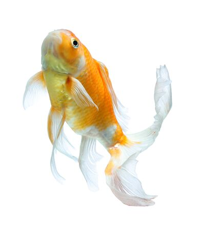 koi: Koi fish isolated on white background Stock Photo