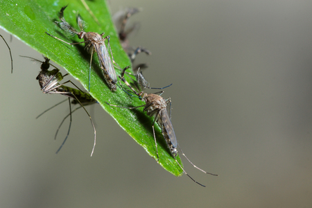 gnat: Mosquito on green leaf