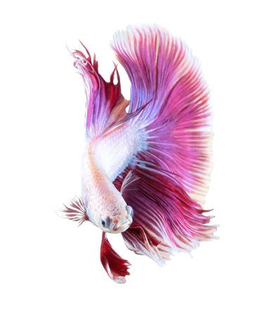 betta splendens: Betta fish, siamese fighting fish, betta splendens (Halfmoon betta )isolated on white background Stock Photo
