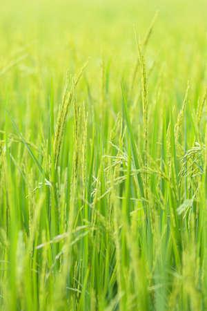 champ de mais: Vert plants de riz champ de maïs Banque d'images