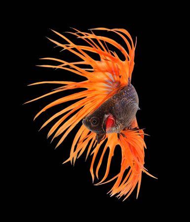 black fish: Betta fish, siamese fighting fish, betta splendens (Crown Tail) isolated on black background Stock Photo