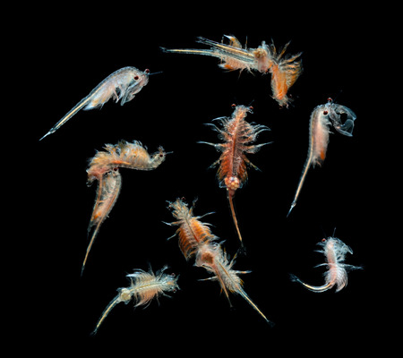 plankton: plancton artemia aislado en el fondo negro