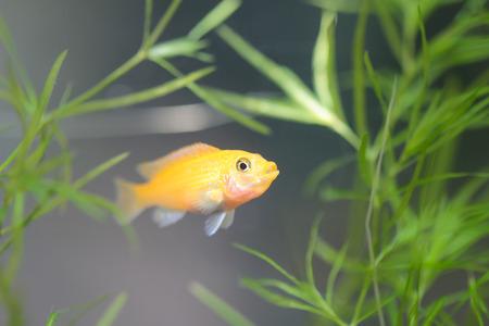cichlids: Cichlid in the aquarium