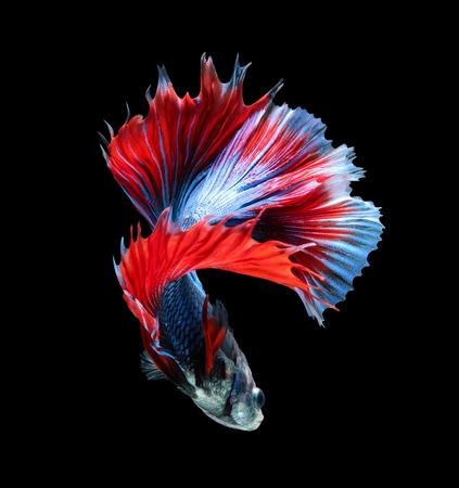 betta splendens: Betta fish, siamese fighting fish, betta splendens (Fullmoon betta )isolated on black background