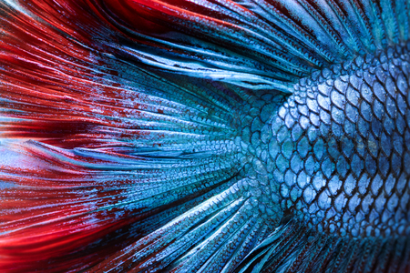 caudal fin: Close-up on a fish skin - Siamese fighting fish Stock Photo