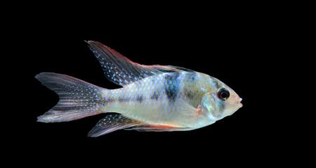 cichlid: Electric Blue Ram (Mikrogeophagus ramirezi) aquarium fish