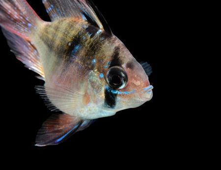 cichlid: Mikrogeophagus ramirezi aquarium fish