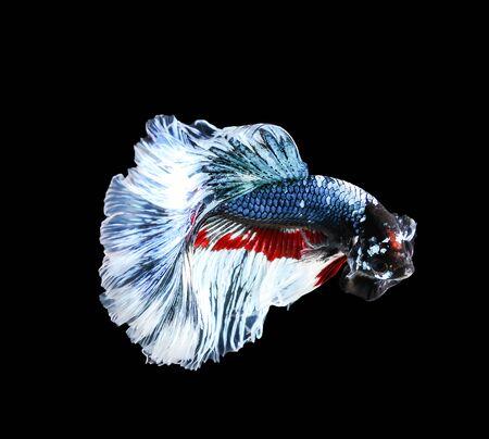 betta splendens: Betta fish, siamese fighting fish, betta splendens (Halfmoon betta )isolated on black background Stock Photo