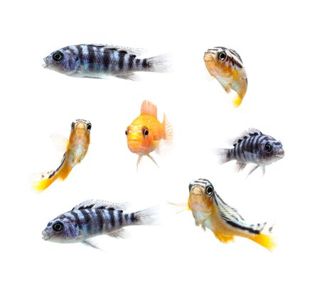 cichlids: Malawi Aquarium Fish Cichlidae family.