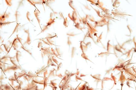 plancton: plancton artemia aislado en fondo blanco Foto de archivo