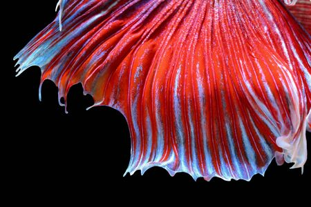 fish tail: Texture of tail siamese fighting fish Stock Photo