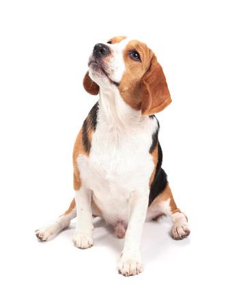 Beagle-Hund isoliert auf weißem Hintergrund Standard-Bild - 58410314