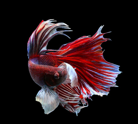 black fish: Betta fish, siamese fighting fish, betta splendens (Halfmoon betta )isolated on black background Stock Photo