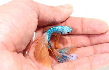 betta splendens: Betta fish, siamese fighting fish, betta splendens in hand top view
