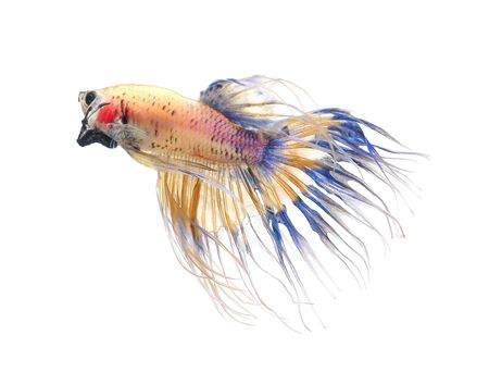 crown tail: Betta fish, siamese fighting fish, betta splendens (Crown Tail) isolated on white background Stock Photo