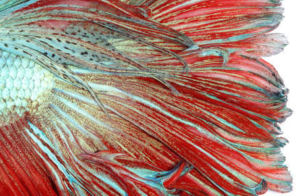 siamese: Texture of tail siamese fighting fish Stock Photo