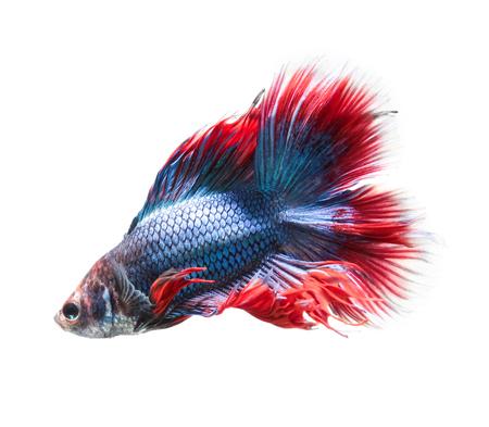 Betta fish, siamese fighting fish, betta splendens (Fullmoon betta )isolated on white background