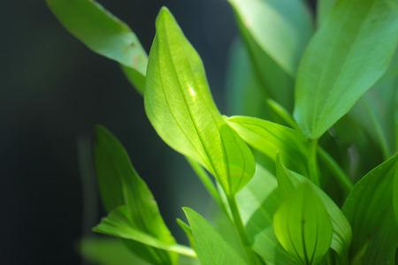 green plant tropical freshwater aquarium Stock Photo