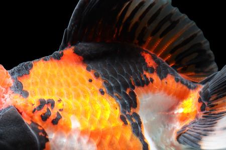 caudal: Close-up on a fish skin Stock Photo
