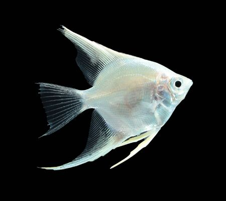 scalare: Angelfish (Pterophyllum scalare) isolated on black background Stock Photo