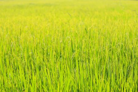 cornfield: Green rice seedlings cornfield