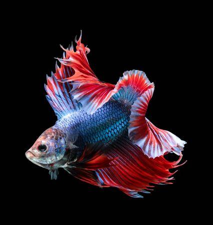 Betta fish, siamese fighting fish, betta splendens (Fullmoon betta )isolated on black background