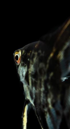 scalare: Angelfish (Pterophyllum scalare) isolated on black background Stock Photo