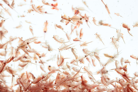 白い背景で隔離アルテミア プランクトン