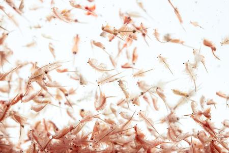 Artemia Plankton isoliert auf weißem Hintergrund Standard-Bild - 72259465