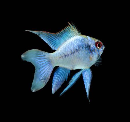 ramirezi: Electric Blue Ram (Mikrogeophagus ramirezi) aquarium fish