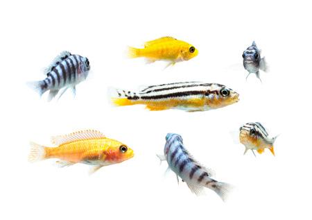 マラウイ水族館魚カワスズメ科の家族。