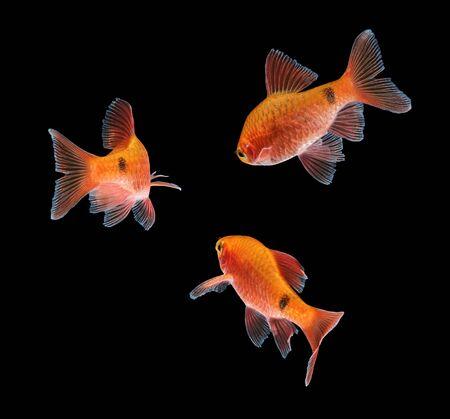 barbus: Aquarium fish, Rosy Barb ( Puntius conchonius)