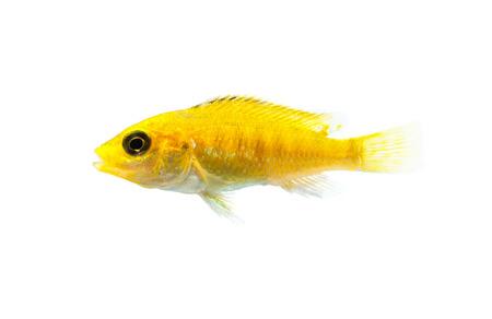 cichlid: Malawi Aquarium Fish Cichlidae family.