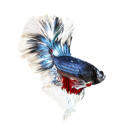 Betta fish, siamese fighting fish, betta splendens (Dumbo halfmoon betta )isolated on white background