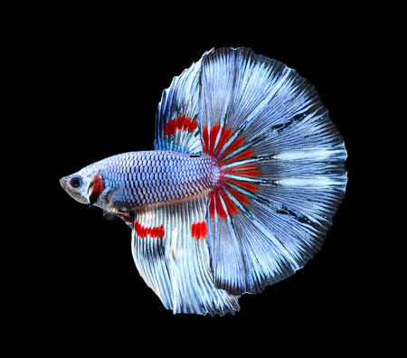 Betta vis, Siamese vechten vis, Betta Splendens geïsoleerd op zwarte achtergrond