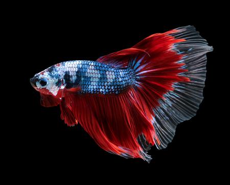 Betta fish, siamese fighting fish, betta splendens (Halfmoon betta )isolated on black background Фото со стока