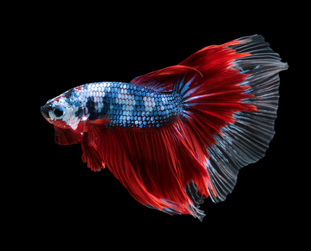 Betta fish, siamese fighting fish, betta splendens (Halfmoon betta)isolated on black background