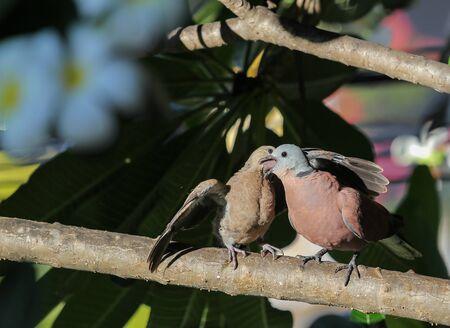 Red collared dove (Streptopelia tranquebarica ) feed his nestling Stock Photo