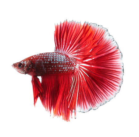 Betta fish, siamese fighting fish, betta splendens (Halfmoon betta )isolated on white background Stock Photo
