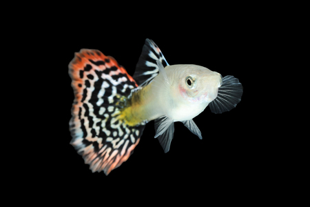 Guppy fish isolated on black background (Poecilia reticulata)