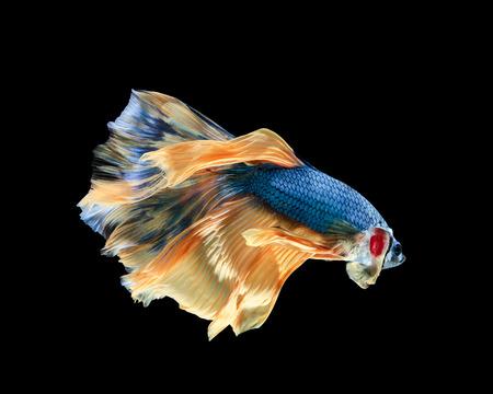 Betta fish, siamese fighting fish, betta splendens (Halfmoon betta )isolated on black background Stock Photo